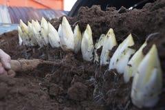 Moissonnant des endives /Chicory développé dans le sol Photos stock