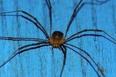 Moissonneur d'araignée Photographie stock libre de droits