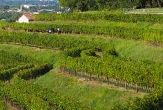 Moissonneuses parmi les vignobles en septembre Photos libres de droits