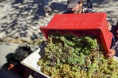 Moissonnez, des paysans versent les raisins dans la presse pour produire image stock