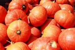 Moissonnez l'orange fraîche de potiron dans la ferme pour le jour de Halloween Images stock
