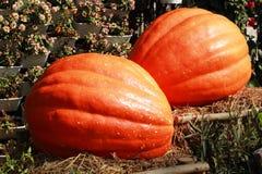Moissonnez l'orange fraîche de potiron dans la ferme pour le jour de Halloween Photo libre de droits