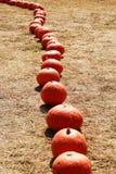 Moissonnez l'orange fraîche de potiron dans la ferme pour le jour de Halloween Image libre de droits