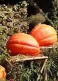 Moissonnez l'orange fraîche de potiron dans la ferme pour le jour de Halloween Photographie stock libre de droits
