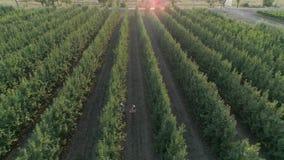 Moissonnez la saison, propriétaires de jardin rassemble des pommes dans le panier au verger dans le village banque de vidéos