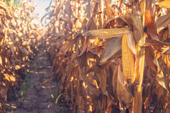 Moissonnez le maïs prêt sur la tige dans le domaine de maïs Images stock