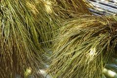 Moissonnez le riz photo libre de droits