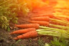 Moissonnez les carottes organiques fraîches dehors dans le jardin au soleil Photo stock