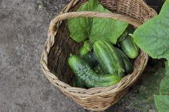 Moissonnez les concombres dans un panier wattled, foyer sélectif Photo libre de droits