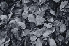 Moist autumn leaves - texture - black and white royalty free stock photos