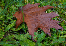 Moist brown leaf in green grass autumn. Autumn concept. Stock Images