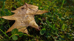 Moist brown leaf in green grass autumn. Autumn concept. Royalty Free Stock Photo