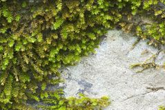 Moist moss over a stone royalty free stock image