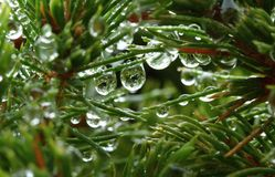 Moist spruce Stock Images