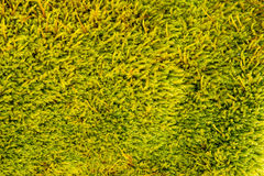 Moist and yellow-green moss texture. Stock Images