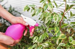 Moisten home plants with an atomizer. Close-up. royalty free stock photos