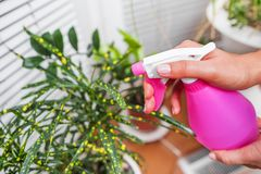 Moisten home plants with an atomizer. Close-up. Care of flowers stock photos
