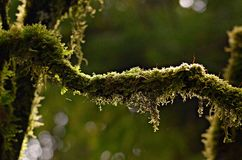 The moisture of the rain forest. Moss represents the completion of the rain forest, the integrity of the forest ecosystem Royalty Free Stock Images