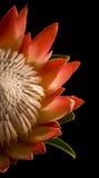 Moitié de fond noir d'isolement du Roi Protea laissé Photographie stock