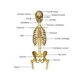 Moitié squelettique illustration de vecteur