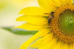 Moitié de fleur du soleil avec la petite abeille Photographie stock libre de droits