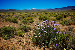 Mojave Aster flower in Wilderness Royalty Free Stock Photos