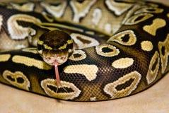 Mojave Ball Python. A Mojave Ball Python flicks its tongue royalty free stock photography