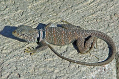 Mojave Black Collard Lizard. Image shows a male Mojave Black Collard Lizard  (Crotaphytus bicinctoreson) resting and warming itself on a concrete fence near Stock Photo