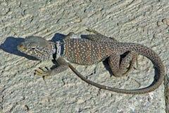 Mojave Collard Czarna jaszczurka Zdjęcie Stock