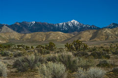 Mojave desert. Scenic view of Joshua trees in Mojave desert with snow capped mountains in background, California, U.S.A Royalty Free Stock Image