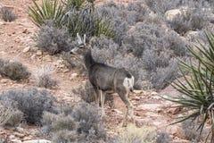 Mojave Desert Deer. Doe Mule Deer at Red Rock Canyon National Conservation Area near Las Vegas, Nevada Stock Photos
