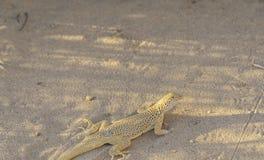The Mojave desert, desert lizard stock images