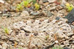 Mojave Desert Sidewinder Rattlesnake stock images