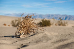 Mojave Desert Tumbleweed. Dead tumbleweed lies on a sea of sand in the Mojave Desert of southern California Royalty Free Stock Photos