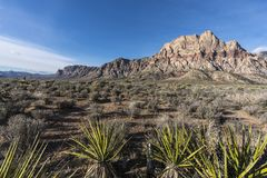 Mt Wilson and Yuccas at Red Rock Canyon Nevada. Mojave desert yuccas with Mt Wilson in background at Red Rock Canyon National Conservation Area near Las Vegas Royalty Free Stock Image