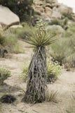 Mojave jukki roślina wśrodku Joshua drzewa parka narodowego Zdjęcie Royalty Free