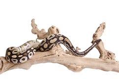 Mojave-königliche Pythonschlange Lizenzfreie Stockfotos