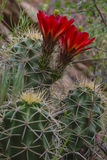 Mojave mound cactus - Echinocereus triglochidiatus Stock Photos