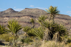 Mojave National Preserve Royalty Free Stock Photos