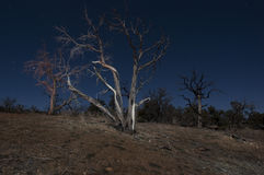 Mojave night burnt trees Royalty Free Stock Images
