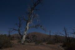 Mojave night creepy burnt tree Stock Photography