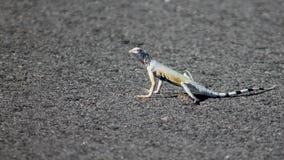 Mojave Ogoniasta jaszczurka Zdjęcia Stock