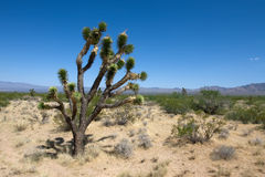 Mojave park. Joshua tree in the Mojave national park with the blue sky royalty free stock images