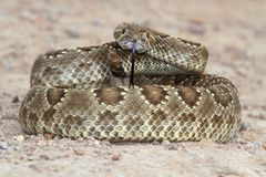 Mojave Rattlesnake - Crotalus scutulatus Royalty Free Stock Photography