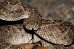 Mojave Rattlesnake - Crotalus scutulatus Royalty Free Stock Image