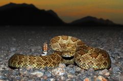 Mojave Rattlesnake - Crotalus scutulatus Royalty Free Stock Photo