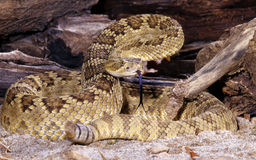 Mojave Rattlesnake. Royalty Free Stock Photo