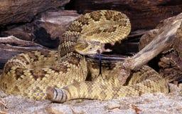 Mojave Rattlesnake. Portrait of a Mojave Rattlesnake Royalty Free Stock Photo
