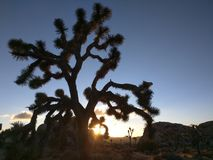Mojave-Wüste Joshua Tree Lizenzfreies Stockbild