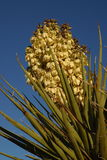 Mojave Yucca. With bloom at Joshua Tree National Park stock photography